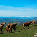 Allevamento-cervi-Rongrino