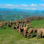 Cervi-al-pascolo-Rongrino